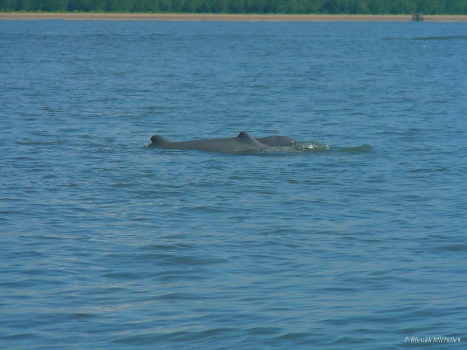 V Balikpapanském zálivu můžeme zahlédnout 4 druhy mořských savců. Nejpočetnější je populace sladkovodních delfínů - orcely tuponosé, místními nazývaná jako Pesut Laut. Ty se specializují na život v temných vodách mělkých zálivů a ústí řek. Není to rychlý plavec, jak by se mohlo zdát, má totiž malou hřbetní ploutev a méně hydrodynamický tvar těla v porovnání s oceánskými delfíny. Ale je to schopný lovec ryb v kalných vodách, kde echolokace hraje významnější roli než rychlost. Orcely jsou plaší delfíni, nepřibližují se lodím a neumí skákat, což ztěžuje jejich pozorování a fotografování ve srovnání s některými z oceánských delfínů. Ale jakmile se naši lodníci naučili, jak je najít a opatrně plout podél těchto nádherných zvířat, stávají se zajímavou turistickou atrakcí.