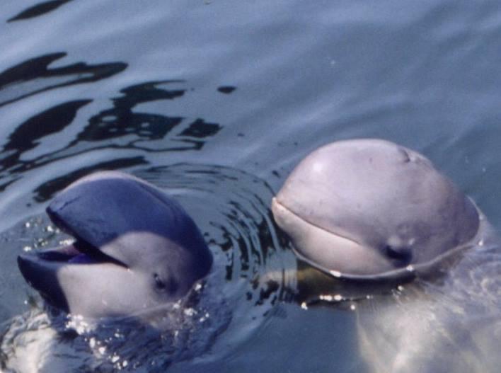Typicky kulovitý tvar lebky orcel ani nenaznačuje, že jde o delfína.