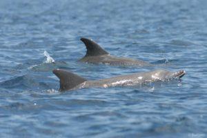 Indopacifický poddruh delfína skákavého (Tursiops aduncus) je pouze příležitostným návštěvníkem v Zátoce. Jeho pravé stanoviště výskytu jsou mělké pobřežní vody průlivu Makassar. Ve srovnání s pobřežními delfíny orcelami tuponosými (Ocreaella brevirostris), které jsou skutečnými rezidenty v Zátoce, mají delfíni skákaví některé z charakteristických rysů oceánských delfínů: mají dlouhé čelisti, velkou hřbetní ploutev, plavou rychle a často skákají a tak hravými skoky někdy následují rychlé čluny.