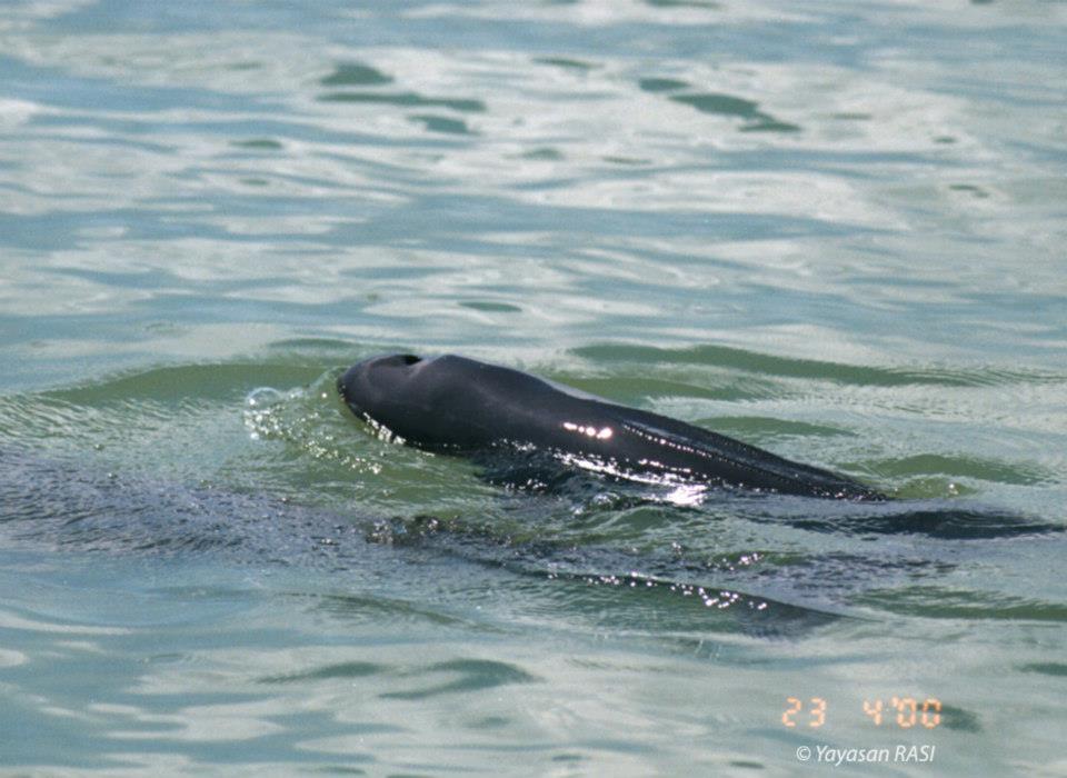 Dva druhy mořských savců v Zátoce nosatých opic postrádají typickou hřbetní ploutev. Tato fotografie ukazuje poddruh sviňuchy obecné (Neophocaena phocaenoides). Druhým druhem bez hřbetní ploutve je dugong (moroň) indický (Dugong dugon) neboli mořská panna. Z lodi mohou vypadat podobně, ale jinak jsou velmi odlišní. Sviňucha je blízká delfínům, zatímco dugong je vzdálený příbuzný slona. Sviňuchy se krmí hlavně rybami, zatímco dugong se pase na rostlinách na mořském dně. Sviňucha bez hřbetní ploutve je v Zátoce pouze příležitostný návštěvník (vyskytuje se v pobřežních vodách průlivu Makassar). Dugongovo teritorium je v zálivu, ale pomalu jsou zde odsouzeni k zániku. Hlavní hrozbou pro jejich přežití je znečištění vody z expandujících odvětví, uhelných dolů, výroby a zpracování palmového oleje a akáciových plantáží. Také samozřejmě lodní doprava.