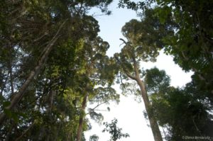Nejvyšší stromy v Sungai Wain Protection Forest mohou dosáhnout více než 50 metrů. Tyto bangkirai (Shorea laevis), patří mezi nejvelkolepější, ale i mezi ty nejvyhledávanější mezi nelegálními lobbisty. V jádrové zóně Sungai Wain byla kontrola na původ dřeva snížena téměř na nulu a jen díky přísné ochraně a hlídkám je jakž takž pod kontrolou. Ale spolu se sousedním pobřežím Balikpapanského zálivu zde ilegální dřevorubci operují téměř volně a snaží se i na druhé straně pobřeží.