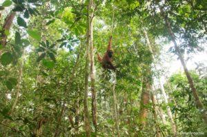 Původně (před příchodem vědců) zde v Balikpapanu žádní orangutani nebyli. Ale protože roku 1980 bylo více než 80 orangutanů bornejských zachráněno ze zajetí, tito zachránění rezatí lidoopi byli rehabilitováni a byli vypuštěni za okraj města, v oblasti lesa Sungai Wain Protection Forest, pod záštitou BOSF (Bornenian Orangutan Survival Foundation). Bohužel, někteří z nich podlehli obrovským lesním požárům v roce 1998, a někteří z nich byli přemístěni jinam. Ale ti, kteří přežili začali reprodukci a jejich potomci pomalu tvoří novou generaci Balikpapanských orangutanů. Nyní, o 14 let později, jsou OHROŽENI pomalu k zániku podruhé. Tentokrát ne kvůli požárům, ale kvůli rozšíření Kariangau - průmyslové oblasti nedaleko od jejich zbývajícího stanoviště mezi pobřežími Balikpapanského zálivu a západní hranice Sungai Wain Protection Forest.