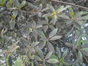 Listy mangrovníků jsou někdy potaženy černou krustou z uhelného prachu, čím více se budete blížit k zásobníku uhlí PT Singlurus v Mentawir. Těžba uhlí vážně otravuje a pomalu likviduje přirozenost Zátoky nosatých opic.