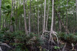 Interiér primárních mangrovů Balikpapanského zálivu. Ty jsou velmi odlišné od nízkých a neproniknutelně hustých křovin sekundárních mangrovových hájů podél narušeného pobřeží v blízkosti městských oblastí. Tyto primární mangrovy jsou vzrostlé lesy, s robustními stromy, které mohou vyrůst více než 20 metrů do výšky, kde tvoří koruny uzavřený baldachýn nad spíše otevřenou vegetací na zemi - relativně solidní bažinou a silnými tlustými kořeny stromů, přes které lze relativně snadno chodit.