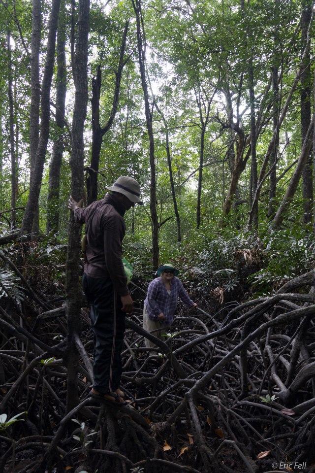 """Mangrovová ekoturistika nutně vyžaduje stavbu drahých tzv. boardwalks = """"hatí"""". To málo turistů, kteří měli šanci zažít výlet v bludišti primárních mangrovů Balikpapanského zálivu (při odlivu), milovali tento zážitek, i když se nedostali dále než 50 metrů do nitra mangrovu."""