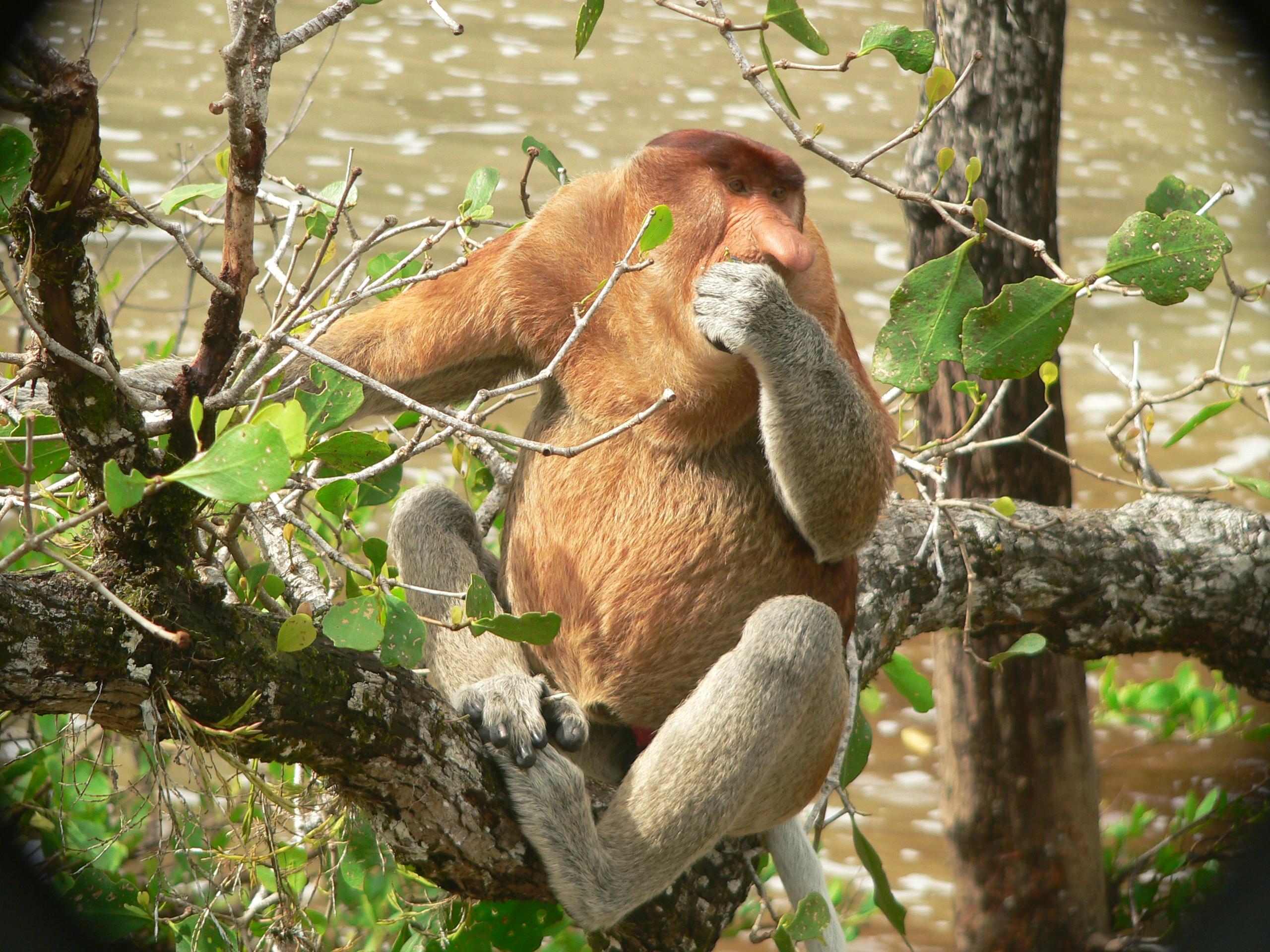 Kahau nosatý - samec krmící se na mangrovníku