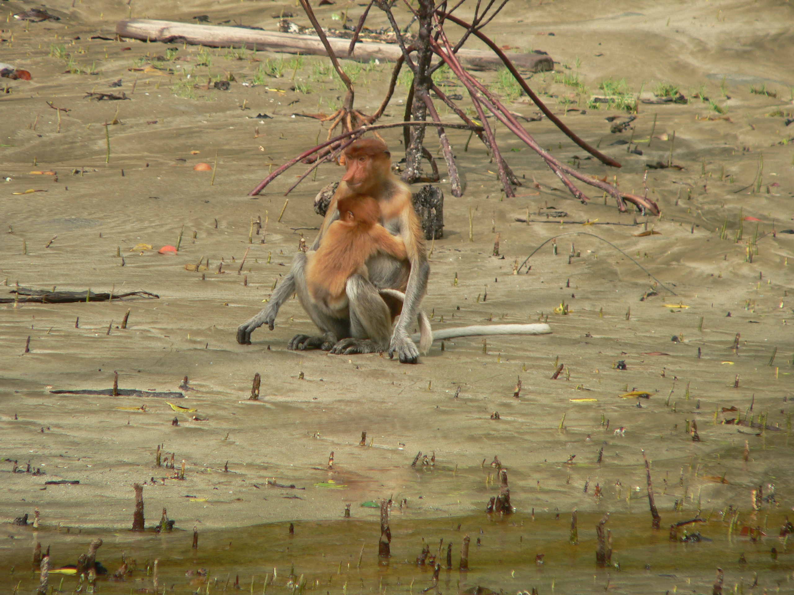 Kahau nosatý - samice s mládětem - foto Petr Čolas