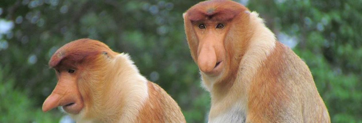 Zátoka nosatých opic