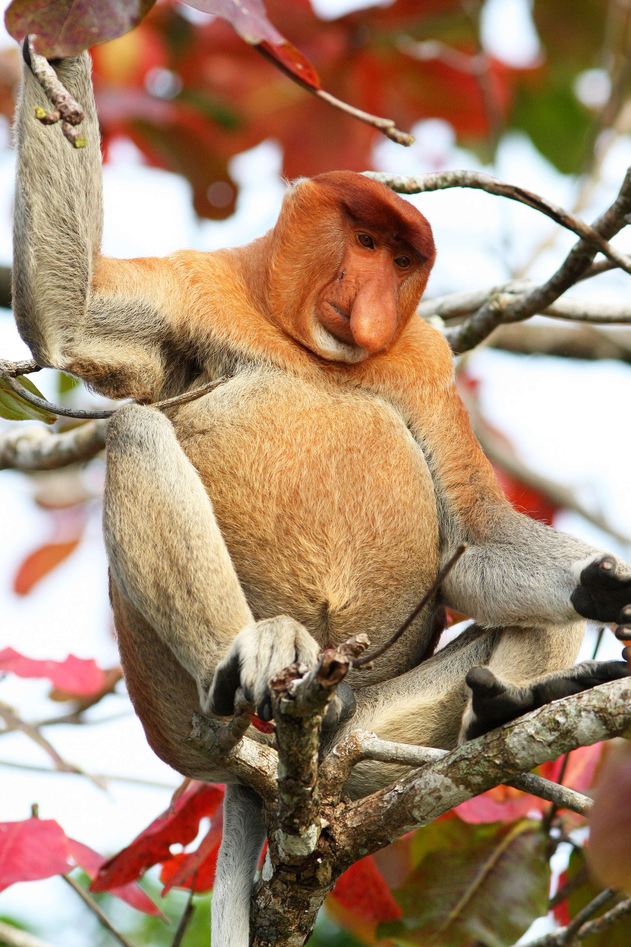 Kahau nosatí v Zátoce představují 5 % doposud známé celobornejské (rozuměj celosvětové) populace tohoto druhu, což ji řadí k 7 nejpočetnějším známým populacím kahau nosatých na Borneu. - foto Petr Šrámek